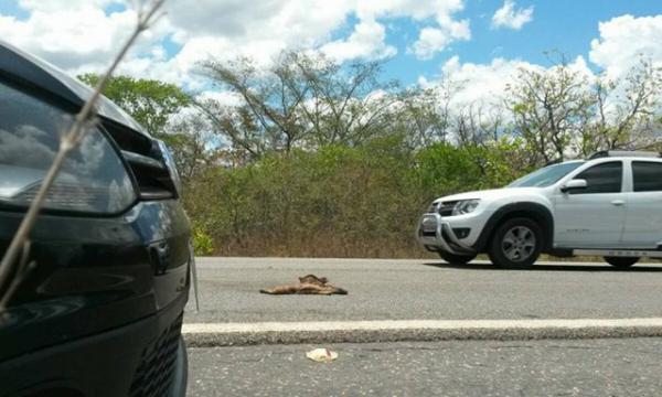 ONG pede construção de passagens para animais silvestres em rodovias no PI.(Imagem:Cidadeverde.com)