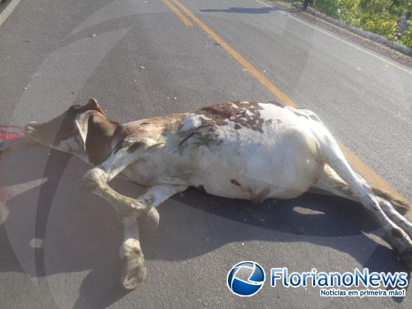 Animais invadem pista e causam acidente na BR-343 em Floriano.(Imagem:FlorianoNews)