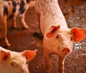 PI não registra casos de peste suína, mas mantém proibição.(Imagem:Thiago Gomes)