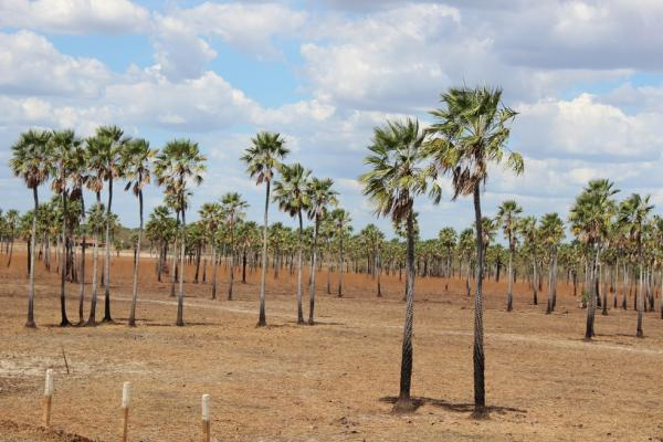 Piauí é o maior c de pó de carnaúba do país, aponta IBGE(Imagem:Reprodução)
