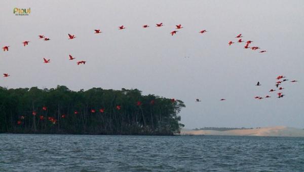 Revoada dos guarás no Delta do Parnaíba.(Imagem:Reprodução/TV Clube)
